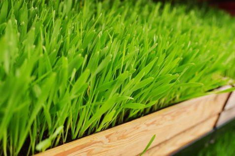 Młody zielony jęczmień – właściwości izastosowanie