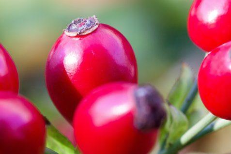 Dzika róża wkosmetyce