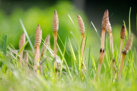 Skrzyp polny – właściwości izastosowanie