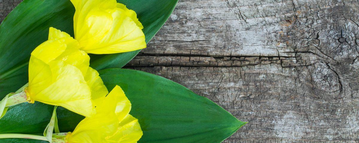 Olej zwiesiołka – właściwości lecznicze ikosmetyczne wiesiołka