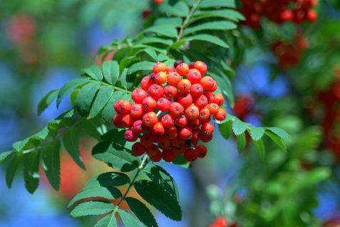 Jarzębina – jesienne bogactwo witamin