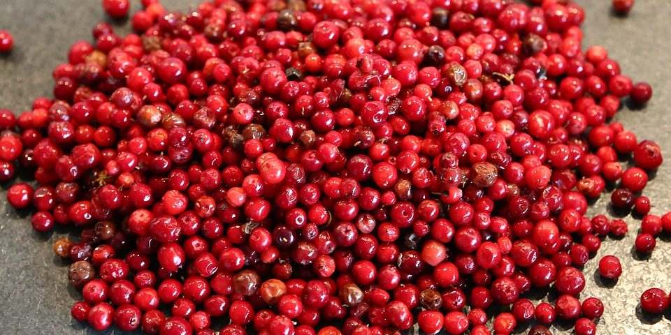 Borówka brusznica- zapomniana jagoda