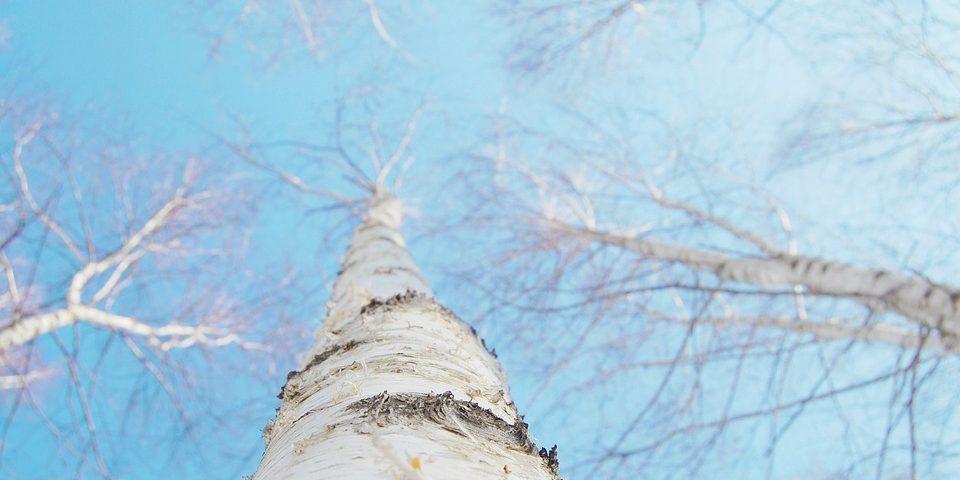 Niesamowite właściwości kory brzozy ibetuliny