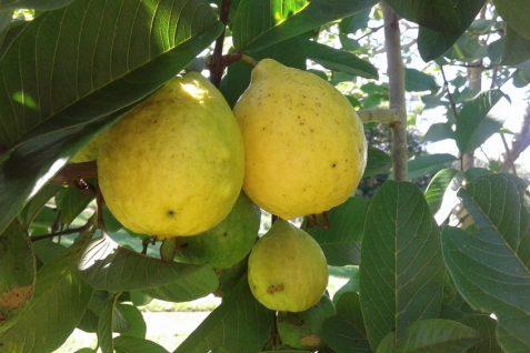 Guawa- egzotyczna bomba witaminowa