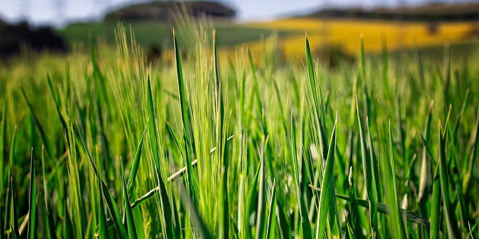 Młody jęczmień- siła kiełkujących traw
